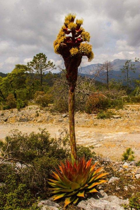agave-montana-en-flor